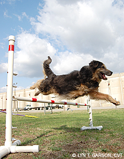 Three-Legged Dog Agility