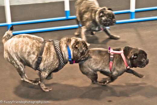 West Hollywood Pug Meet Up Zoom Room Dog Training