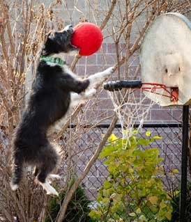 dog-playing-basketball