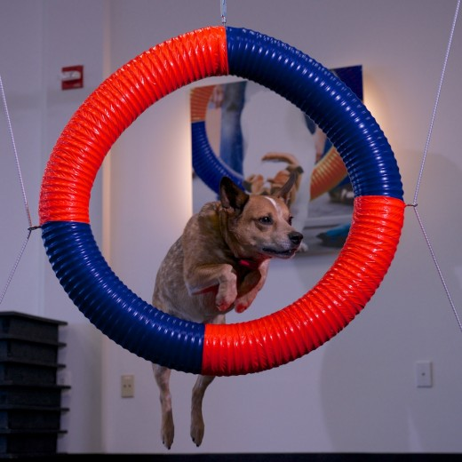 Zoom Room Belmont Dog Agility Training