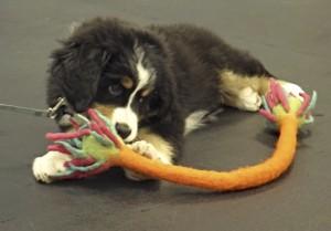 puppy with toy - Greta