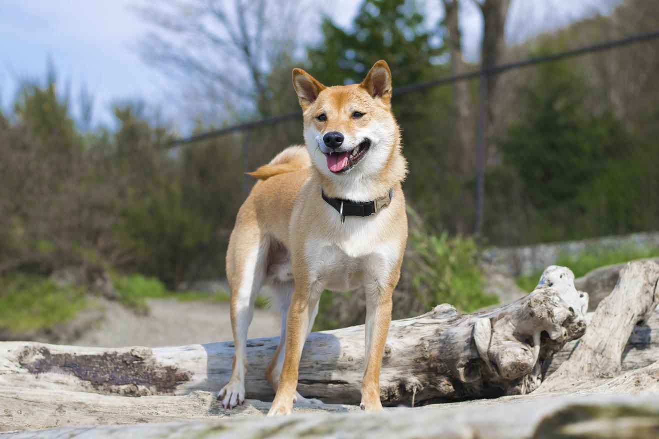 Kato July S Dog Seattle Zoom Room Dog Training