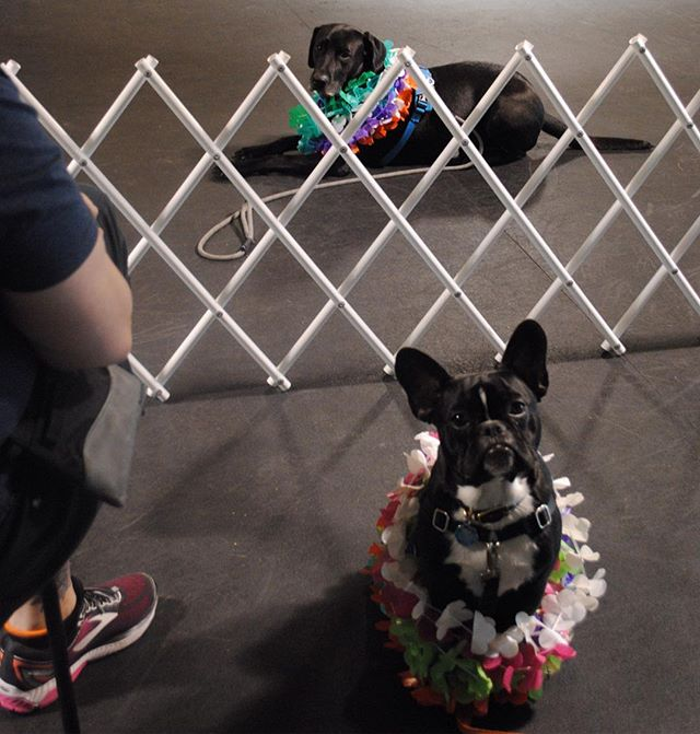Charlie and Luke were absolute PROS at this obedience 2 game practicing stay! Luke kinda liked the leis, but little Charlie wasn't amused by