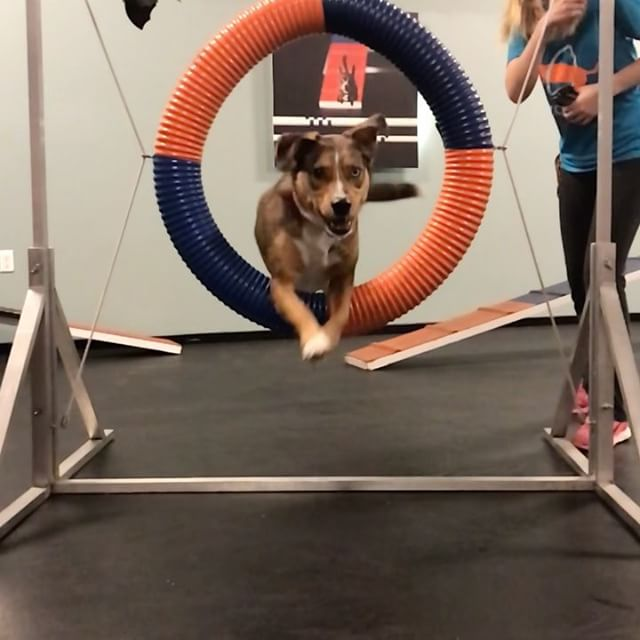 Remi sure does love practicing the tire during Private Gym! 🐕  #agility #dogsofinstagram #catahoulaleoparddog