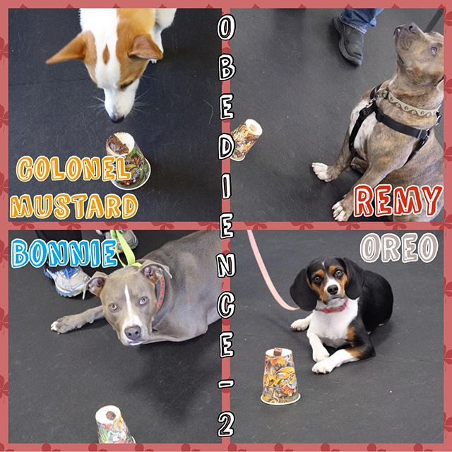 Check out our Obedience 2 practicing elevated Leave Its!! All treats remained on the cups... even Colonel Mustards (he just wanted a good wh