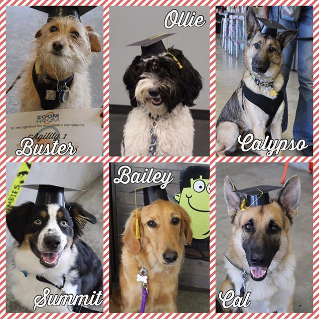 Look who's graduated!!! All of these pups have done such great work with their owners!! From puppy obedience, to obedience 1, to Agility the