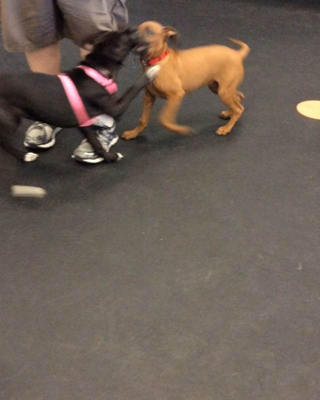 Check out Viggo (Ridgeback) & Abby (lab mix) during Puppy Obedience playtime today! They played so well together, it was like they were mean
