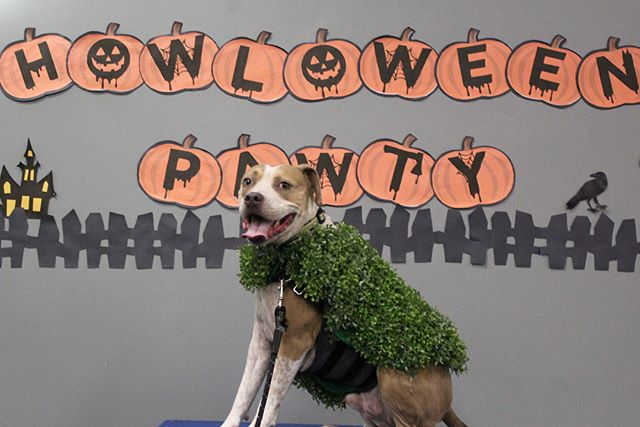 Check out some of the costumes these pups showed up in to our Howloween Pawty! So creative, festive and puny! Congrats to our costume and tr