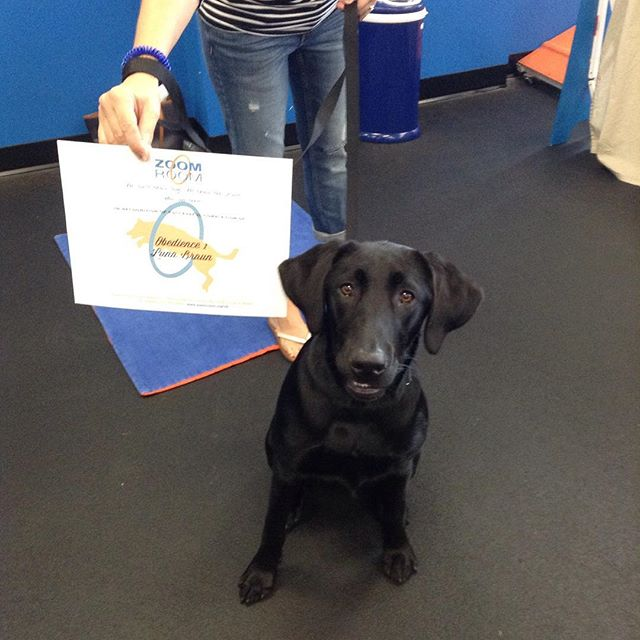 Luna graduated Obedience 1 today! Great job! 👍🏼 #zoomroomvirginiabeach #dogsofinstagram #dogsofvirginiabeach #blacklab #labsofinstagra