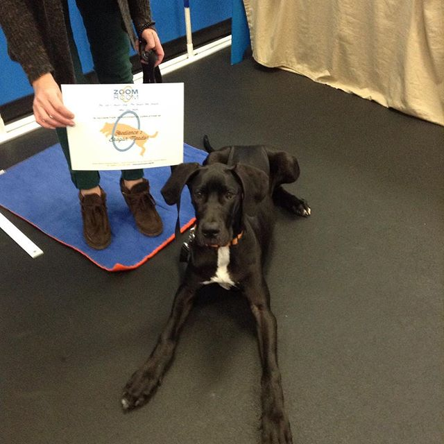 Brogan graduated Obedience 1 today! Good job Brogan! #zoomroomvirginiabeach #dogsofinstagram #dogsofvirginiabeach #virginiabeach #greatdane