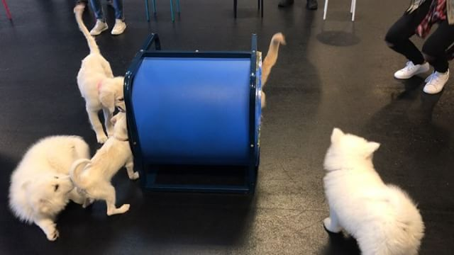Everybody loves playing in the tunnel during Puppy Preschool!  #puppies #agility #playtime