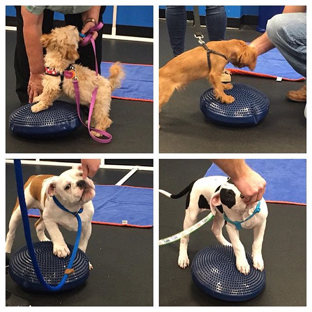 All the puppies had so much fun in Puppy Preschool today working on their balance and being introduced to some new experiences!  #dogsofvirg