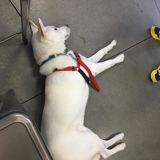 Buzz was wiped out after Agility class tonight! #zoomroom #zoomroomvirginiabeach #dogsofinstagram #whitesheperdsofinstagram #agility