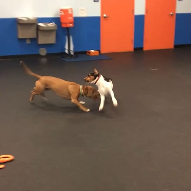 Maybeline requested a play date with her boyfriend Bruce tonight. It's amazing to see her play and have fun when not in a large group of d
