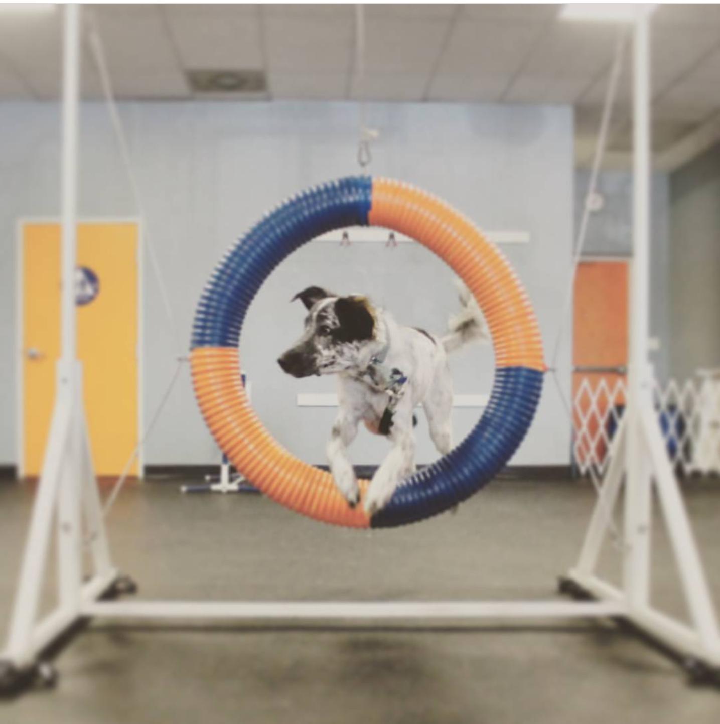 Dog Agility Training in Austin, Texas | Zoom Room Dog Training