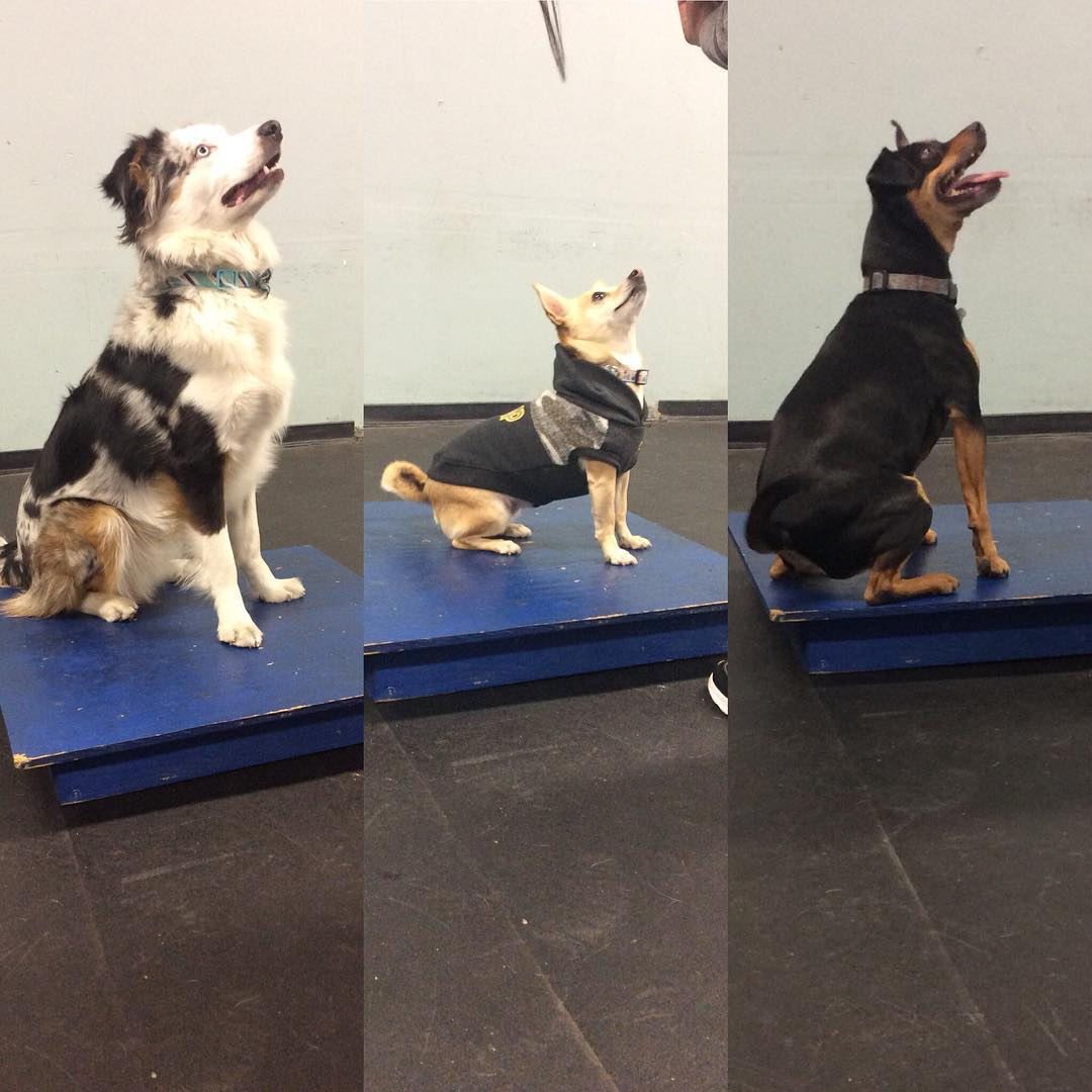 Some seriously cute concentration in #agility class today