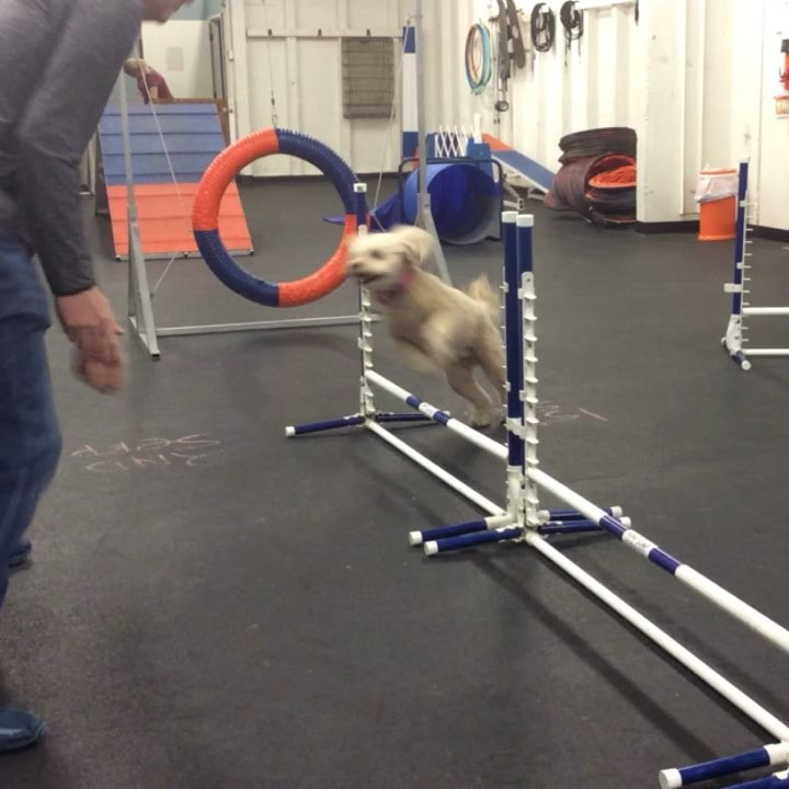 Dog Training Culver City Agility Obedience Puppy