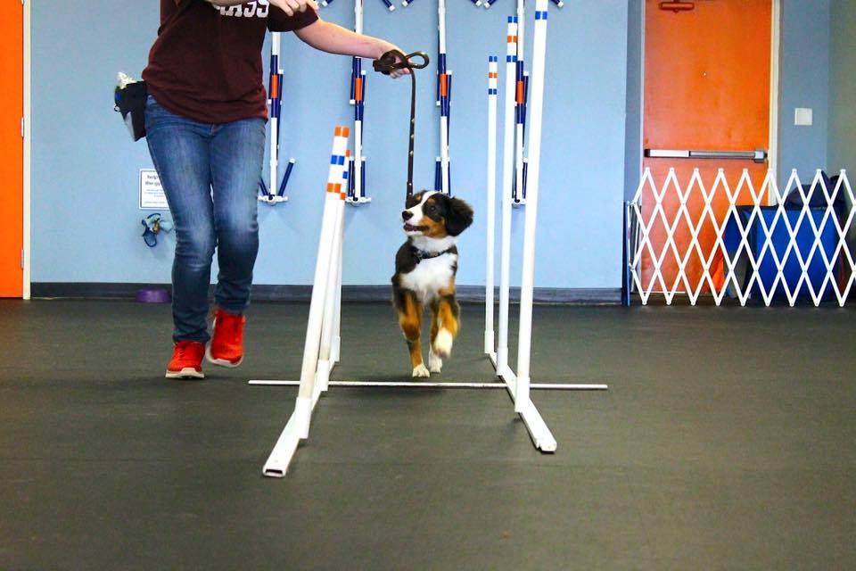 puppy agility