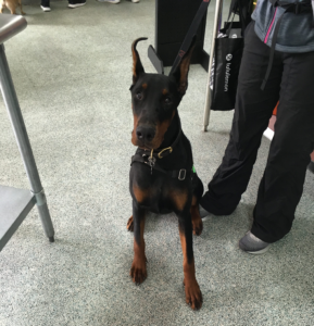 Thinking about Getting a German Pinscher? Here is What You Should Know