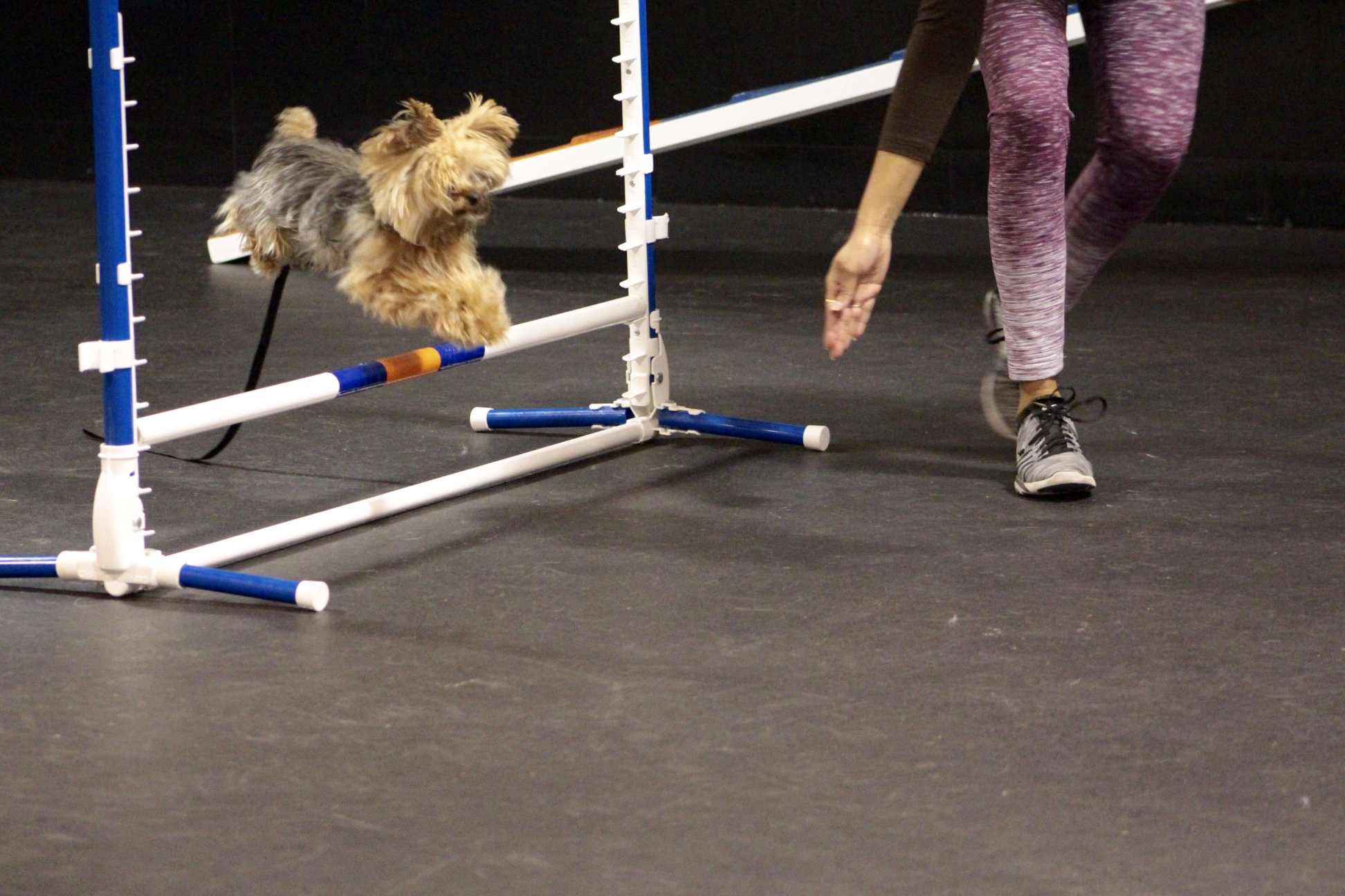 Seattle Dog Training Agility Obedience Puppy Pet